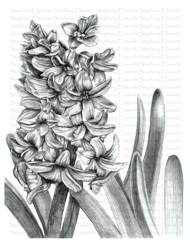 hyacinth grayscale wm JPG